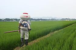 稲を見ながら穂肥をまきます