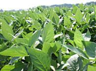 真夏の大豆